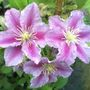 piiluthumb (Clematis)