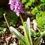 Marsh_orchid_2014_..