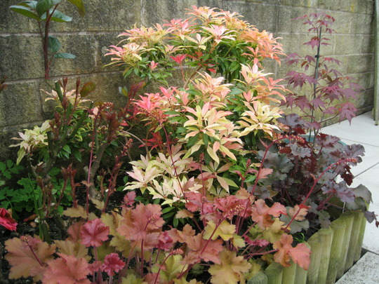 Pieris corner,and Heuchera's..