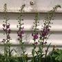 Purple Mullein (Verbascum atroviolaceum)
