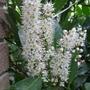 Prunus_larocerasus_otto_luyken_2014