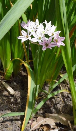 Allium 'Cameleon' - 2014 (Allium 'Chameleon')