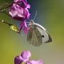 Butterfly feeding on honesty