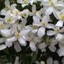 "Clematis Montana grandiflora "" olde man's beard """