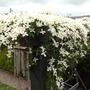 Clematis Montana grandiflora on my pergola