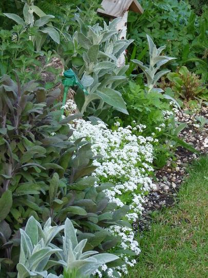A garden of Herbs (Asperula tinctoria (Dyers Woodruff))