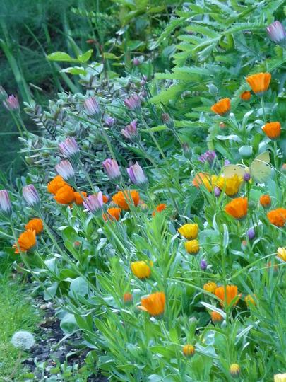 Pot Marigolds (osteospurmum jucundum)