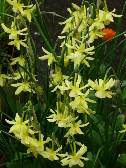 Miniature Narcissus ~ Hawera (Narcissus hawera)