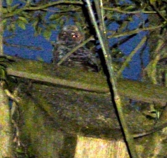 Tawny Owls Nesting In Garden Again  :-)