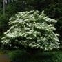 Vibutnum plicatum forma tomentosum  (V. plicatum forma tomentosum)
