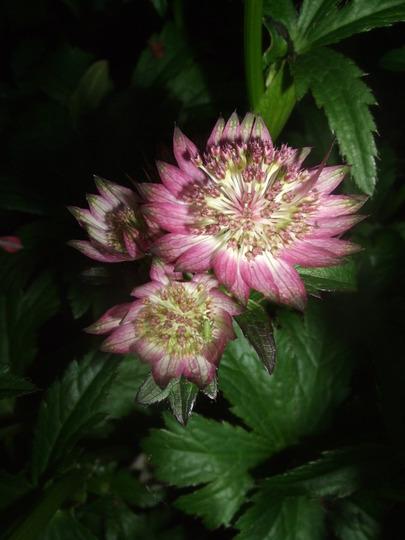 Astrantia 'Star of Beauty' (Astrantia major)