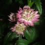 Astrantia_star_of_beauty_