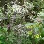 Anthriscus_sylvestris_ravenswing_2_2014