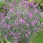 Erysimum bicolor (Bowles' perennial wallflower)