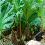 Gunnera for Marybells... (Gunnera manicata)