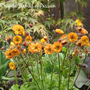 Geum_rivale_flames_of_passion
