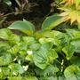 Hosta_june_and_viola_sororia_albiflora