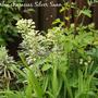 Euphorbia_characias_silver_swan