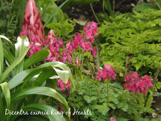 Dicentra eximia King of Hearts (Dicentra 'King of Hearts')