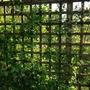 Trellis wall  (Roses)