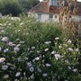 My asters last autumn (Dipsacus fullonum (Teasel))