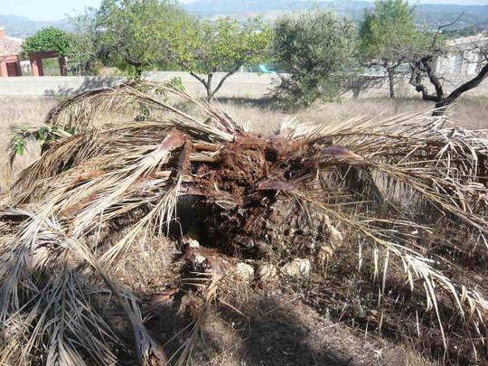 Canarian Date Palm