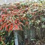 Cotoneaster_20_131107