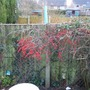 Cotoneaster_20_140125