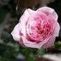 Rose_mini_sm_140512_3_