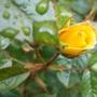 Rose_1_140512_2_