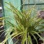 Carex_morowii_140512_2_