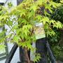 New Acer palmatum SANGO-KAKU