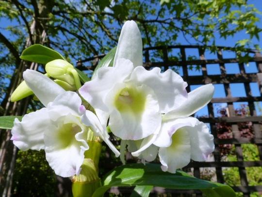 Orchid Dendrobium Nobile