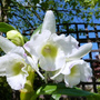 Orchid_dendrobium_nobile_may_2014