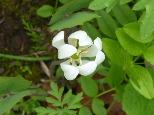 Jeffersonia diphylla (Jeffersonia diphylla (Ground Squirrel Tea))