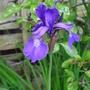 Iris_sibirica_dark_blue_form_2014