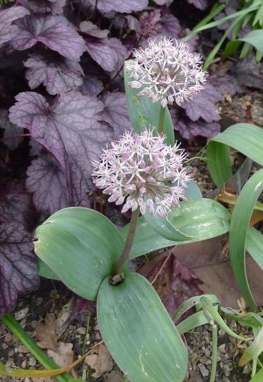 Allium karataviense - 2014 (Allium karataviense)