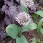 Allium_karataviense_2014