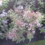 Weigela flowers opening