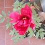 "Paeonia suffruticosa, ""Naniwa Nishiki (Paeonia suffruticosa, ""Naniwa Nishiki)"