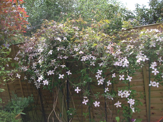 clematis montana var rubens 39 pink perfection 39 grows on you. Black Bedroom Furniture Sets. Home Design Ideas