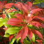 5_pieris_japonica_forest_flame
