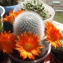 Rebutia_muscula_whole_plant