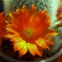 Rebutia muscula Flower Close-up.