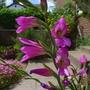 Gladiolus_communis_subsp_byzantinus_2014