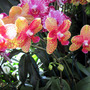 Phalaenopsis or 'Moth Orchid'