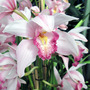 Asian Corsage Orchid
