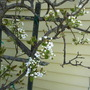 Spring blossoms-pear trees