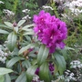 Rhododendron_purple_splendour_2014