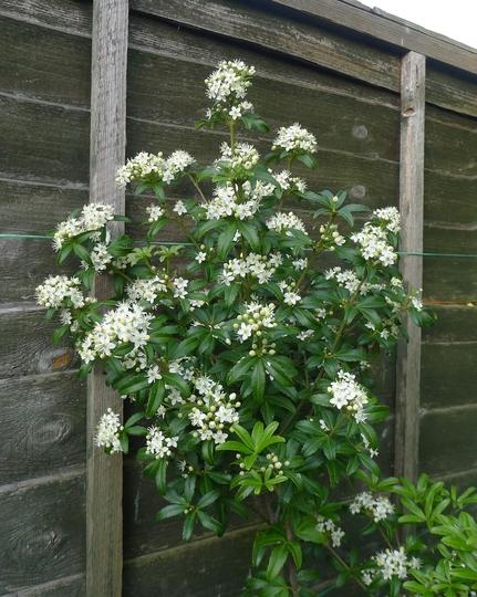 Acradenia frankliniae - 2014 (Acradenia frankliniae)